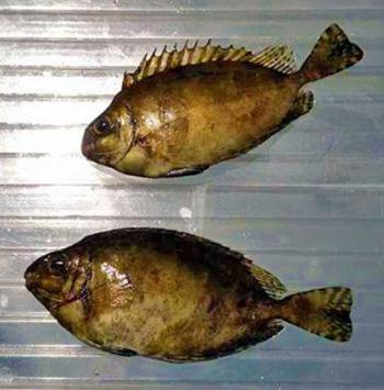 pesce-coniglio scuro