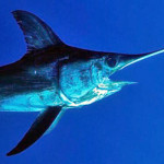 Pesce Spada: Nuove Regole per i Ricreativi e Divieto per i Pescasub