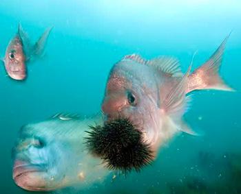 pesci e riccio
