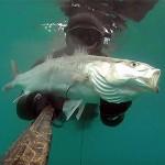 Video Pescasub: la Grossa Spigola e il Vecchio Copertone d'Auto