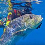 Video Pescasub: in Caduta sul Dentice da Record Mondiale (12,7 kg)