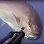 Video pescasub: una Ricciola troppo curiosa