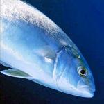 Pesca Ricciola: Regione che Vai, Taglia Minima che Trovi