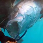 Video Pescasub: la Grande Ricciola Fulminata nel Sottocosta (35 kg)