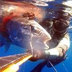 Video Pescasub: La Grande Ricciola in Caduta – Tra SICILIA e TUNISIA ep.5