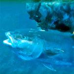 Video Pescasub: la Grande Ricciola che Raddrizza una Giornata Storta (40 kg)