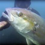 Video Pescasub: una Ricciola nel Lattiginoso Bassofondo Invernale (10 kg)