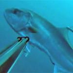 Video Pescasub: La Strana Ricciola, e tu Cosa Avresti Fatto?