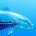 Video Pescasub: la Grossa Ricciola a Bruciapelo