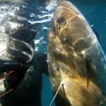 Video Pescasub: la Grande Ricciola in Caduta sul Relitto (35 kg)