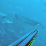 "Video Pescasub: un ""Fiume"" di Grosse Spigole"