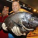 In Spagna pescato un altro Sarago Pizzuto di oltre 6 kg
