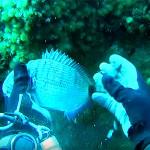 Video Pescasub: un Sarago catturato a Mani Nude