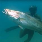 Video Pescasub: Scontro Frontale con le Ombrine Giganti