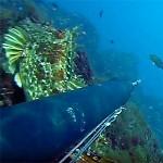 Video Pescasub: lo Scorfano Invisibile sotto il Fucile