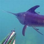 Video Pescasub: il Pesce Spada e l'Incontro Ravvicinato nel Bassofondo