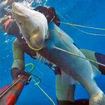Video Pesca Sub: una Grossa Spigola in Caduta, a Mezz'Acqua (7,7 kg)