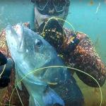 """Video Pesca Sub: la Grossa Spigola """"Addormentata"""" nelle Alghe (8,2 kg)"""