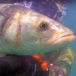 Video Pesca Sub: Una Grossa Spigola dal Nulla (5 kg)