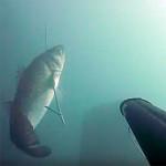 Video Pescasub: la Grossa Spigola nell'Acqua Velata