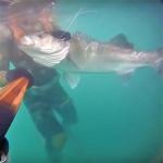 Video Pescasub: la Grossa Spigola passa quasi Sotto il Fucile (9 kg)