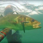 Video Pescasub: la Spigola Addormentata nella Posidonia