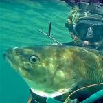 Video Pesca Sub: la Grossa Spigola Dietro gli Steli (6,6 Kg)
