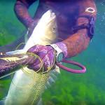 Video Pescasub: l'Enorme Spigola in Bassofondo (11 kg)