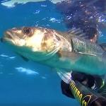 Video Pescasub: la Grossa Spigola Curiosa