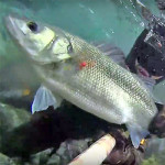 Video Pescasub: la Grossa Spigola in Pochissima Acqua (5 kg)