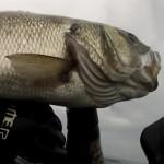 Pesca Spigola: Perchè Cacciarla Durante la Riproduzione e Piangersi Addosso? (2a parte)