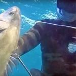 Video Pescasub: la Spigola gravida contornata di maschi, quale catturi?!