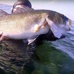 Video Pescasub: Grosse Spigole nella Schiuma (4,2 kg)