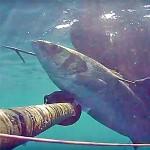 Video Pescasub: la Grossa Spigola, Furba ma non Abbastanza…