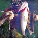Video Pescasub: la Coppiola (quasi Tripletta) di Grosse Spigole nella Risacca