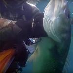 Video Pescasub: la Grossa e Curiosa Spigola primaverile (5 kg)