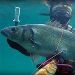 Video Pescasub: la Spigola Gigante in Riproduzione, Che Fai?! (8 kg)