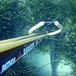 Video Pescasub Spigola: la bella addormentata sul fondo (5,7 kg)