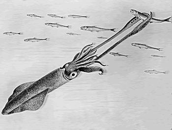squid_catching_fish