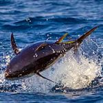 Tonno Rosso 2020: dal 18 Luglio STOP Anticipato alla Pesca Sportiva e Ricreativa