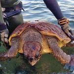Tartaruga Marina, Ferita da un Palamito, Salvata da 2 Pescasub