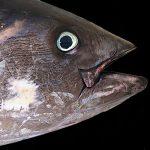 Pesca Tonno 2020: Tutto Quello che C'è da Sapere