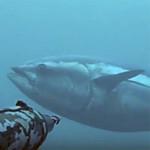 """Video Pescasub Tonno: la """"Locomotiva"""" contro lo """"Stuzzicadenti"""""""