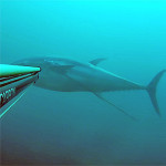 Video Pescasub: il Grande Tonno a Spasso con l'Asta Appesa