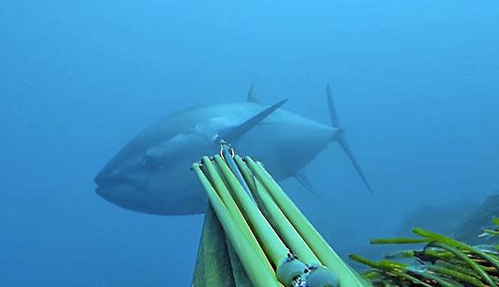 tonno-pescasub3