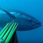 Video Pescasub: Il Grande Tonno all'Aspetto (104 kg)