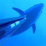 Video Pescasub: 130 kg di Tonno e il Tiro perfetto che non ti Aspetti!