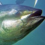 Tonno Rosso: il PD Vuole Altre Limitazioni per i Pescatori Ricreativi