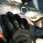 Quote Pesca Tonno: ai Ricreativi lo 0,47%, ma il PD siciliano Insorge!