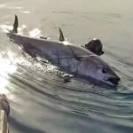 Video Pescasub: il Grande Tonno e la Cattura Ragionata